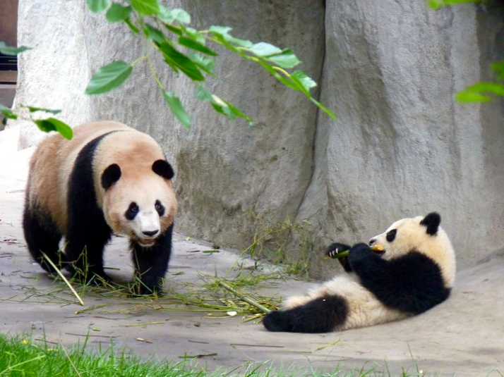Picture of mother panda and her cub at Chengdu's Panda Research Center